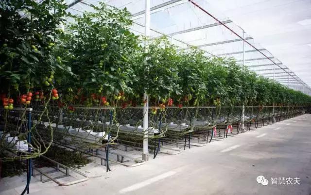 荷蘭農民種植西紅柿每平米產量達到 70 公斤,是如何做到的?