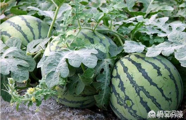 西瓜適合那些肥料,怎么施肥,談幾點個人看法