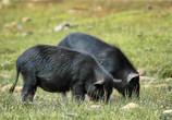 黑猪养殖销路是关键