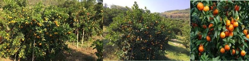 砂糖橘做好的图1