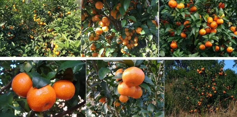 砂糖橘做好的图3