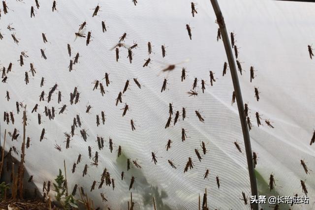 长治屯留李坊村科学养殖金蚂蚱 大步迈向致富路