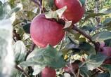 云南昭通丑苹果糖心脆甜昭通红富士当季新鲜水果10包邮